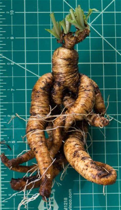 real mandrake root knockturn alley pinterest