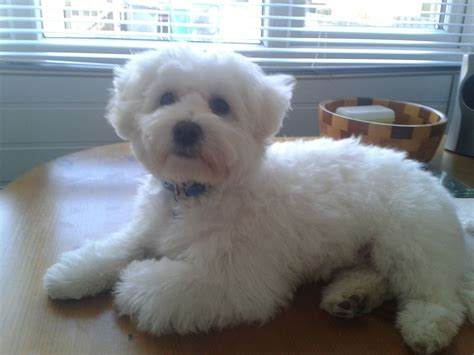 white maltipoo puppies white maltipoo for stud hull east of pets4homes
