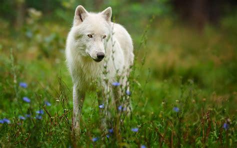 imagenes de lobos en 4k animals wolf wolves fur ears nose eyes landscapes nature