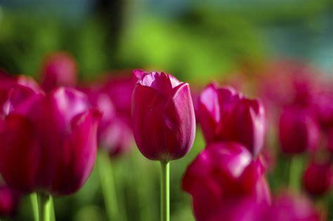 tulip flower facts garden guides