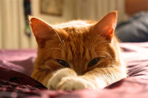 my sleeps all day ask a vet why does my cat sleep all day iheartcats