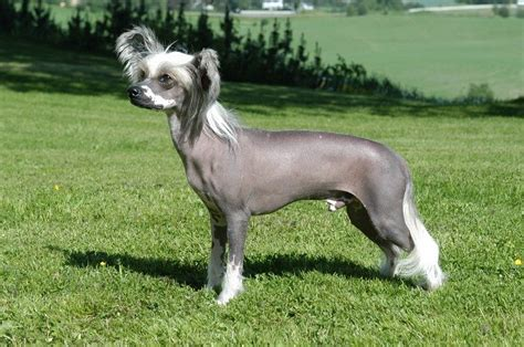 Is Shedding by Non Shedding Dogs Types Breeds And Their Characteristics