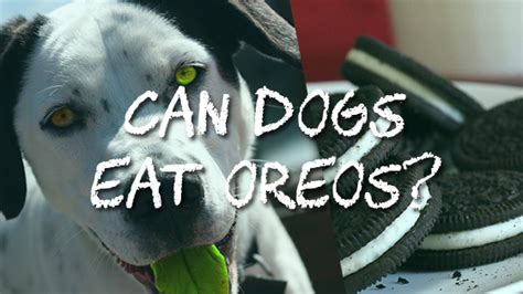 can i eat dogs while can dogs eat oreos pet consider