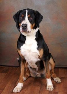 greater swiss mountain rescue greater swiss mountain on swiss mountain dogs mountain dogs and