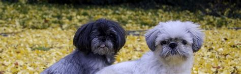 what were shih tzu bred for shih tzu information breeds at dogthelove