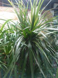 dracaena plant care growing planting cutting diseases