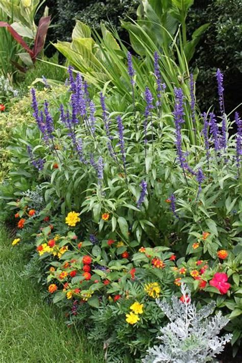 Blue Salvia Varieties I Plant Blue Salvia Mealycup Sage Year Flower Garden