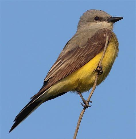 western kingbird wikipedia