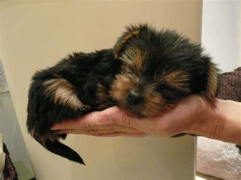 small yorkies small terrier pups for sale broadstairs kent pets4homes