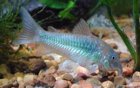 Pakan Yang Baik Untuk Larva Ikan Nila memilih induk untuk pembenihan ikan corydoras budidaya