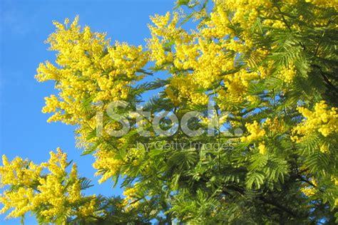 immagini fiori mimosa fiori di mimosa fotografie stock freeimages