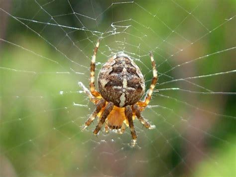 Garden Spider Wiki Araneus