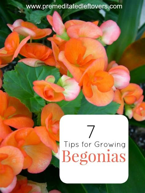 7 tips for growing begonias