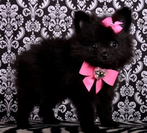 teacup pomeranian miami teacup pomeranian princess sold moving to miami pomeranian puppies