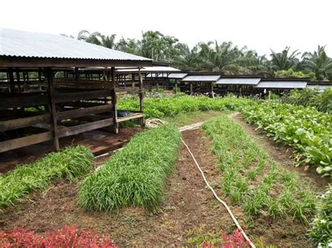 Pupuk Kotoran Sapi Untuk Sawit 187 limbah pelepah sawit untuk pakan ternak sapi limbah