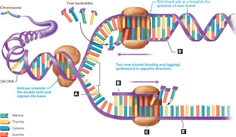dna replication diagram dna thinglink by erica martinez thinglink
