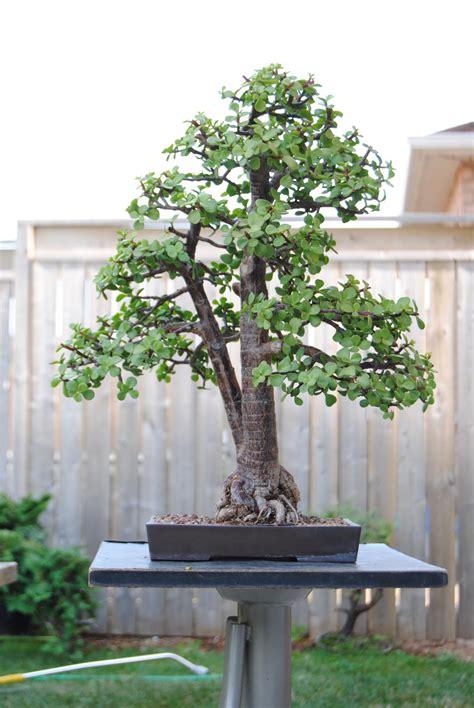 elephant bush lakeshore bonsai bonsai  toronto canada