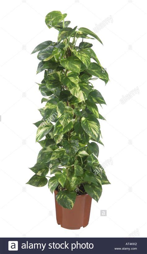 epipremnum aureum centipede tongavine epipremnum pinnatum aureum