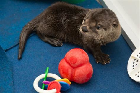 meet pudding oregon s orphaned otter pup zooborns