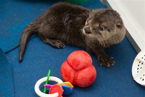 meet pudding oregon s orphaned otter pup zooborns