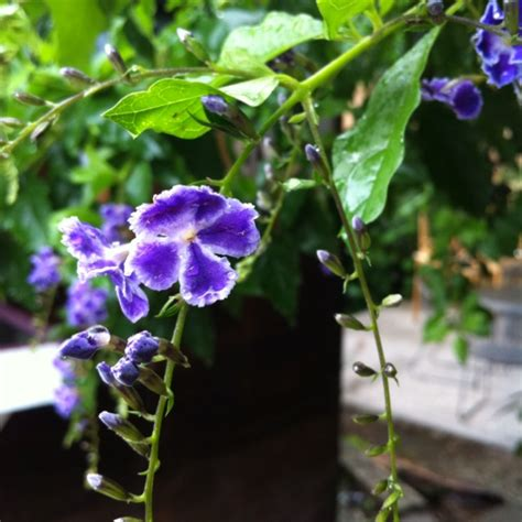climbing plant with purple flowers purple flowers on a climbing vine blue mountains