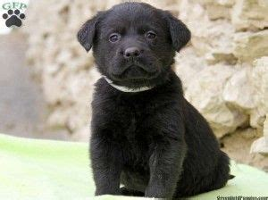 labrador puppies for sale in ct black lab puppies for sale in ct baby animals lab puppies for
