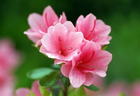 hd flower images azalea flowers hd wallpapers hd wallpapers