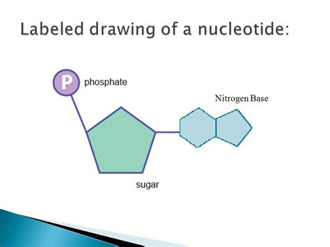 diagram of nucleotide labeled diagram of nucleotide gallery how to guide and