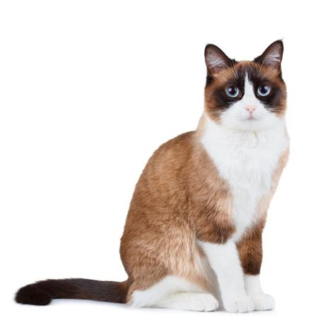 snowshoe images snowshoe cat breed information pictures characteristics