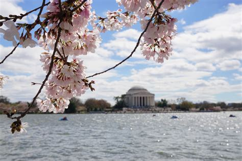 cherry tree 10 miler cherry blossom ten mile run touring a plethora of pink blossoms in washington d c two swiss