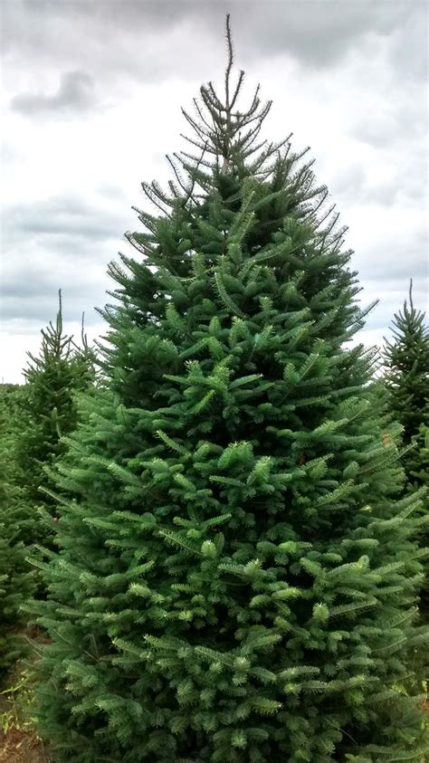 meadow fir 10 christmas tree images wholesale cut trees hartikka tree farms