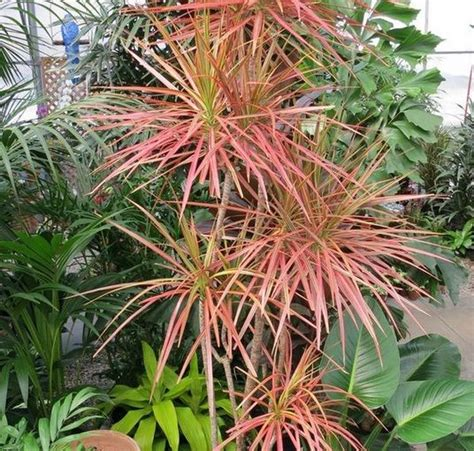 Tanaman Dracaena Florida tanaman dracaena marginata tricolor tanaman tahan panas