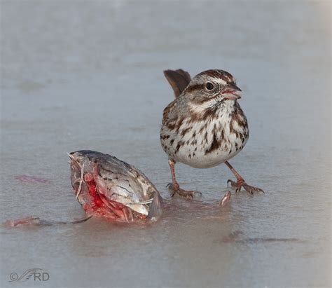 song sparrow eating fish 171 feathered photography