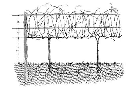 table grape trellis systems trellis for grapes yard and garden vines