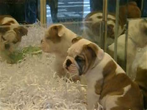 pet shops that sell puppies pet stores that sell puppies images
