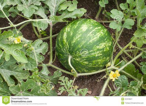 Watermelon Planter by Watermelon Stock Photo Image 42416627