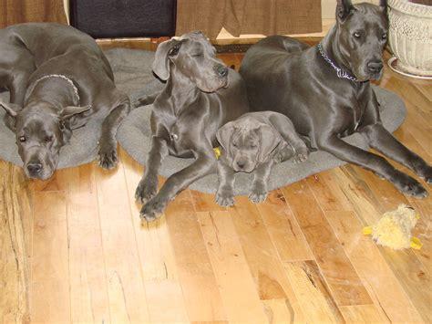 great dane puppies kentucky blue great danes for sale in kentucky blue great dane breeder symsonia ky