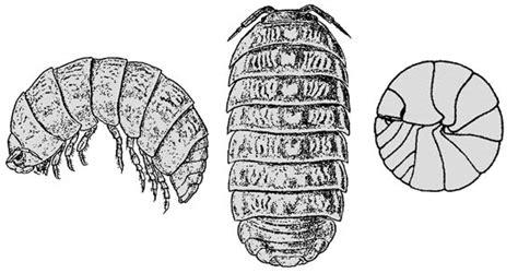 pillbug diagram pillbug drawings and diagram neonature 15