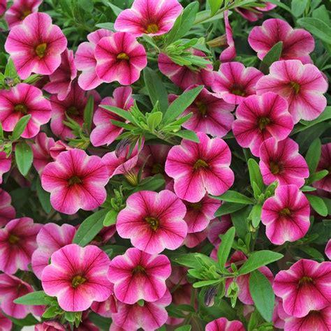 petunia can can calibrachoa s plant