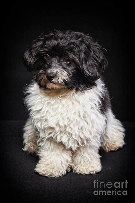 black and white havanese black and white havanese painting painting by laszlo toth