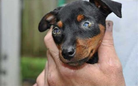 chihuahua min pin puppies miniature pinscher puppy breeders no pet store puppies