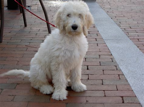 mini goldendoodles size the gallery for gt goldendoodle size
