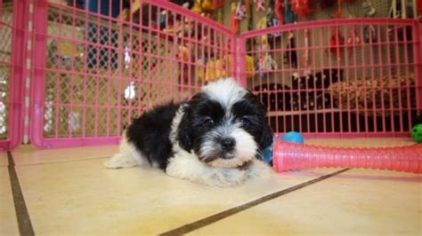 maltese puppies for sale in augusta ga amazing malti tzu puppies for sale in atlanta ga mix of maltese and shih tzu