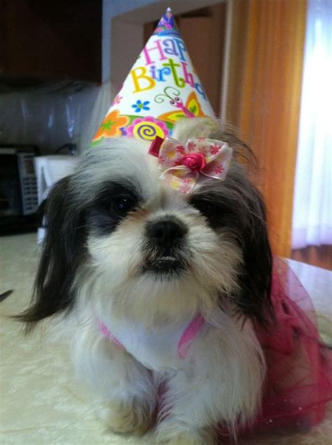 happy birthday shih tzu pictures how much are shih tzu puppies breeds picture