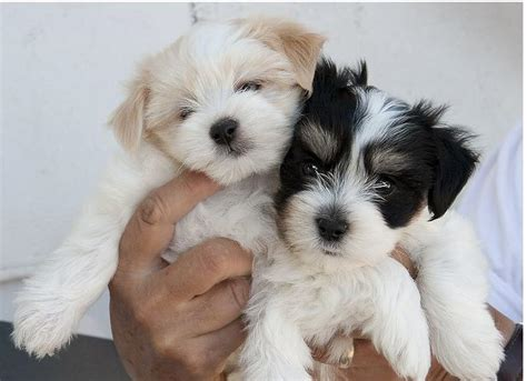havanese white puppies photos of havanese puppies two toned colors black white and white jpg 2 comments