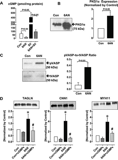 protein kinase g total protein kinase g activity and the expression of vsmc