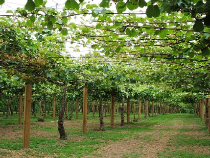 Build A Garden Trellis by Kiwi Fruit Facts Pictures Health Benefits And