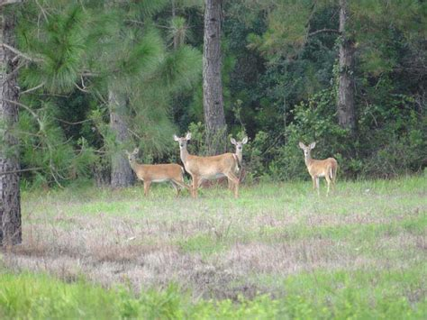 deer rubber st whitetail deer minerals 18 images inexpensive cabins