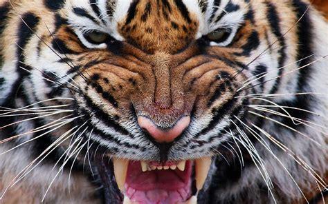Tiger eyes iv wallpaper   AllWallpaper.in #13068   PC   en
