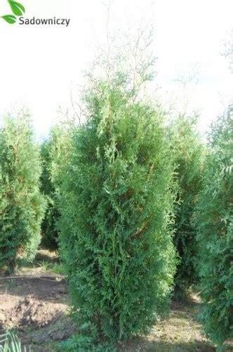 thuja brabant schneiden abendl 228 ndischer lebensbaum thuja occidentalis brabant